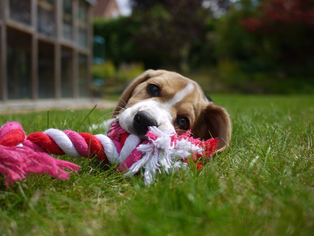 Dog playing with a chewing toy on a green lawn.