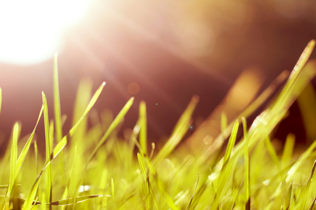 Lush green grass illuminated by the sun.