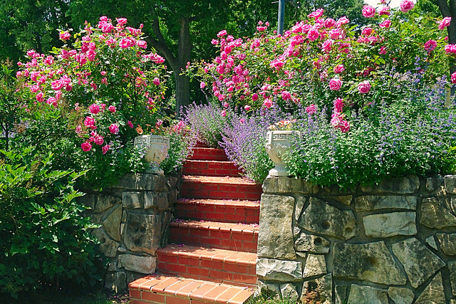Beautiful garden with pink roses and stairs.