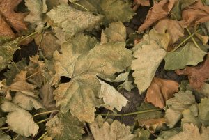 Dry brown leaves fallen on the ground.