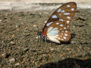 Brown butterfly on dry soil.